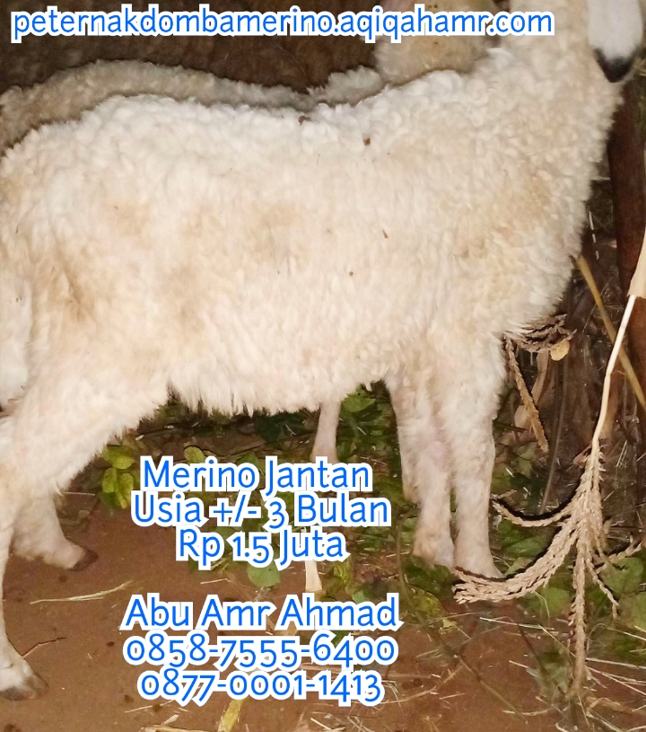 peternak domba merino, ternak domba merino, peternakan domba merino, peternakan domba merino di jawa tengah, ternak domba merino di jateng, peternak domba merino semarang, domba merino, harga domba merino, harga domba merino 2020, jual domba merino, domba merino semarang, ternak domba merino, domba merino jantan, domba merino betina, jual domba merino di semarang, gambar domba merino, domba merino asli, domba merino super, ciri ciri domba merino, harga anakan domba merino, jenis domba merino, jual bibit domba merino, peternakan domba merino, bibit domba merino, jual domba merino semarang, harga bulu domba merino, harga domba merino semarang, pakan domba merino, budidaya domba merino, domba merino harga, jual domba merino jateng, ciri domba merino, jual domba merino jantan semarang, jual domba merino betina semarang, harga domba merino jantan semarang, harga domba merino betina semarang