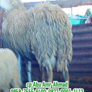 domba texel, harga domba texel 2020, domba texel wonosobo, domba texel jantan, harga domba texel, jual domba texel, domba texel wonosobo (dombos), domba texel indonesia, perbedaan domba texel dan merino, domba texel super, domba texel jatim, harga domba texel wonosobo, jual domba texel jawa timur, gambar domba texel, jual domba texel wonosobo, ciri domba texel, asal domba texel, tentang domba texel, keunggulan domba texel, karakteristik domba texel wonosobo, foto domba texel, karakteristik domba texel, budidaya domba texel, domba texel malang, ternak domba texel wonosobo, harga domba texel semarang, jual domba texel semarang, domba texel semarang, domba texel jantan super semarang, domba texel jantan semarang, domba texel betina semarang