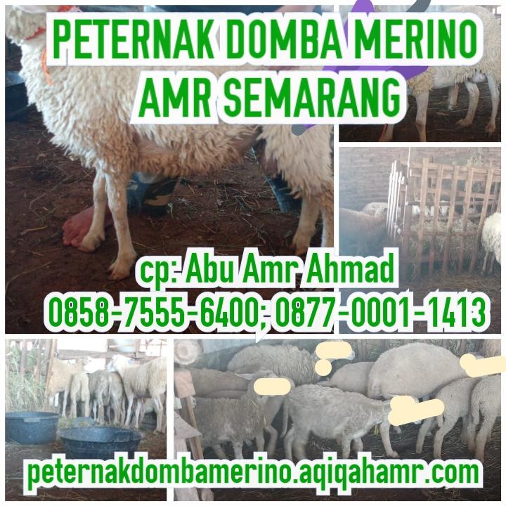 Peternak Domba Merino AMR Semarang