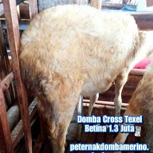 asal domba cross texel, budidaya domba cross texel, ciri domba cross texel, domba texel, domba cross texel betina semarang, domba texel indonesia, domba cross texel betina, domba texel betina semarang, domba cross texel betina super semarang, domba cross texel jatim, domba cross texel malang, domba cross texel semarang, domba cross texel super, domba texel wonosobo, domba texel wonosobo (dombos), foto domba texel, gambar domba texel, harga domba texel, harga domba texel 2020, harga domba texel semarang, harga domba texel wonosobo, jual domba texel, jual domba texel jawa timur, jual domba texel semarang, jual domba texel wonosobo, karakteristik domba texel, karakteristik domba texel wonosobo, keunggulan domba texel, perbedaan domba texel dan merino, tentang domba texel, ternak domba cross texel wonosobo
