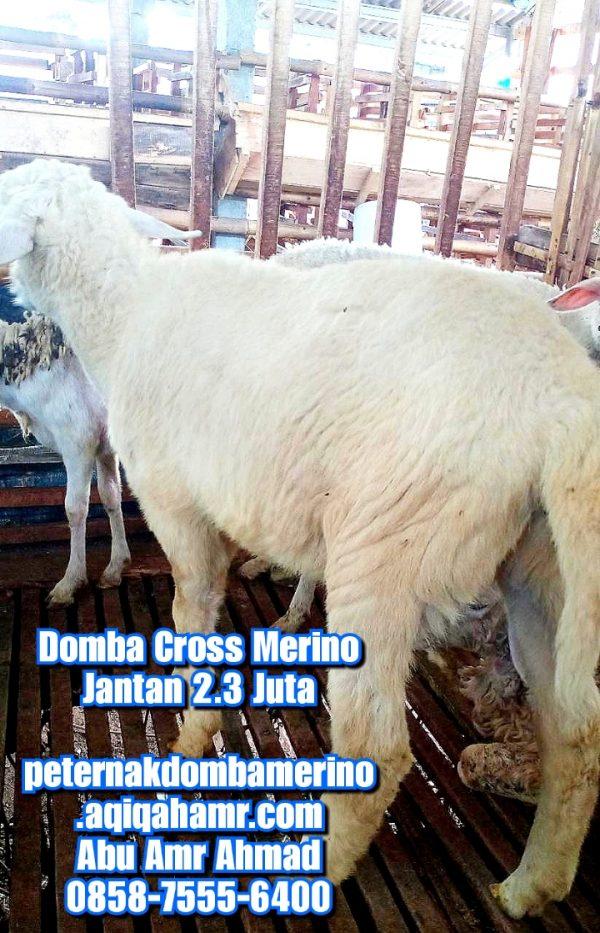 asal domba cross merino, budidaya domba cross merino, ciri domba cross merino, domba merino, domba cross merino betina semarang, domba merino indonesia, domba cross merino betina, domba merino betina semarang, domba cross merino betina super semarang, domba cross merino jatim, domba cross merino malang, domba cross merino semarang, domba cross merino super, domba merino wonosobo, domba merino wonosobo (dombos), foto domba merino, gambar domba merino, harga domba merino, harga domba merino 2021, harga domba merino semarang, harga domba merino wonosobo, jual domba merino, jual domba merino jawa timur, jual domba merino semarang, jual domba merino wonosobo, karakteristik domba merino, karakteristik domba merino wonosobo, keunggulan domba merino, perbedaan domba texel dan merino, tentang domba merino, ternak domba cross merino wonosobo