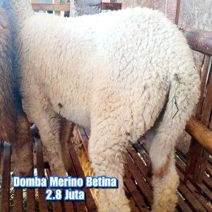 asal domba merino, budidaya domba merino, ciri domba merino, domba merino, domba merino betina semarang, domba merino indonesia, domba merino betina, domba merino betina semarang, domba merino betina super semarang, domba merino jatim, domba merino malang, domba merino semarang, domba merino super, domba merino wonosobo, domba merino wonosobo (dombos), foto domba merino, gambar domba merino, harga domba merino, harga domba merino 2021, harga domba merino semarang, harga domba merino wonosobo, jual domba merino, jual domba merino jawa timur, jual domba merino semarang, jual domba merino wonosobo, karakteristik domba merino, karakteristik domba merino wonosobo, keunggulan domba merino, perbedaan domba texel dan merino, tentang domba merino, ternak domba merino wonosobo