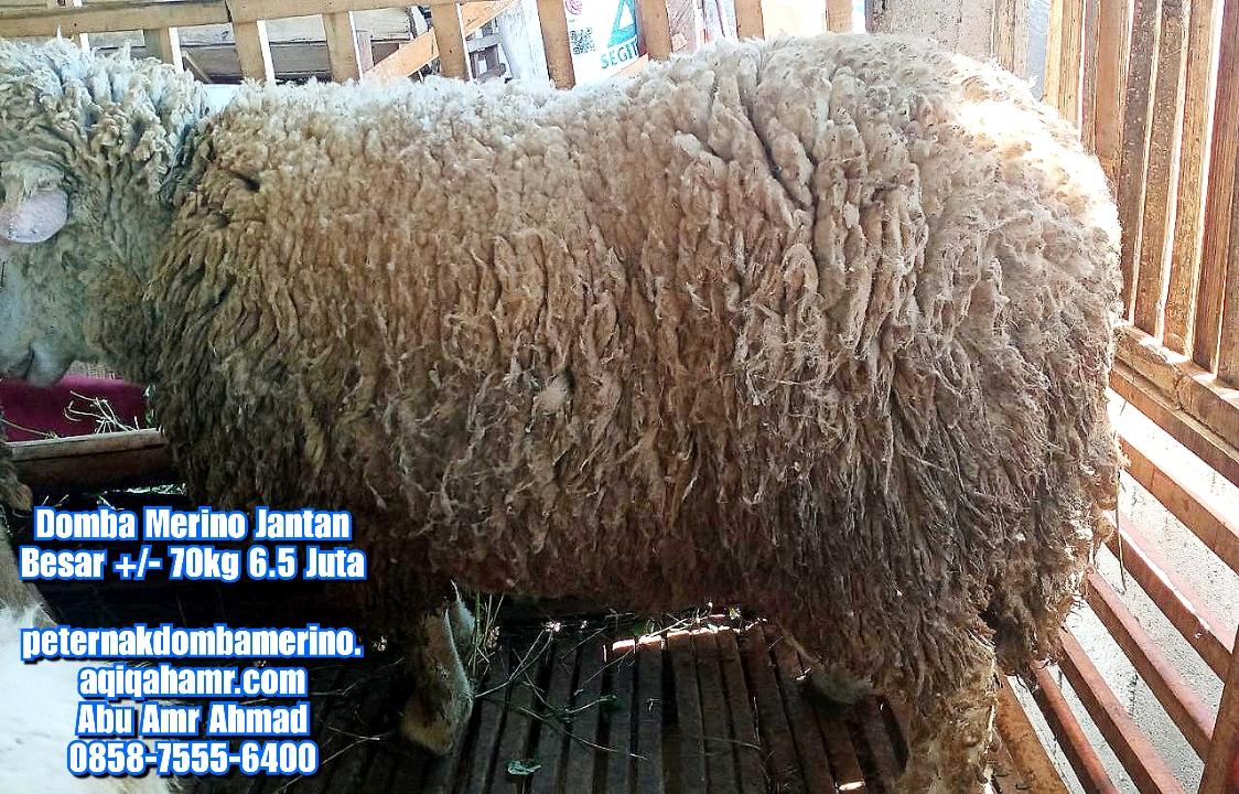 asal domba merino besar, budidaya domba merino besar, ciri domba merino besar, domba merino besar, domba merino besar jantan semarang, domba merino besar indonesia, domba merino jantan besar, domba merino jantan semarang, domba merino jantan super semarang, domba merino jatim, domba merino malang, domba merino semarang, domba merino super, domba merino wonosobo, domba merino wonosobo (dombos), foto domba merino, gambar domba merino, harga domba merino, harga domba merino 2021, harga domba merino semarang, harga domba merino wonosobo, jual domba merino, jual domba merino jawa timur, jual domba merino semarang, jual domba merino wonosobo, karakteristik domba merino, karakteristik domba merino wonosobo, keunggulan domba merino, perbedaan domba texel dan merino, tentang domba merino, ternak domba merino wonosobo