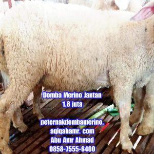 asal domba merino, budidaya domba merino, ciri domba merino, domba merino, domba merino jantan semarang, domba merino indonesia, domba merino jantan, domba merino jantan semarang, domba merino jantan super semarang, domba merino jatim, domba merino malang, domba merino semarang, domba merino super, domba merino wonosobo, domba merino wonosobo (dombos), foto domba merino, gambar domba merino, harga domba merino, harga domba merino 2021, harga domba merino semarang, harga domba merino wonosobo, jual domba merino, jual domba merino jawa timur, jual domba merino semarang, jual domba merino wonosobo, karakteristik domba merino, karakteristik domba merino wonosobo, keunggulan domba merino, perbedaan domba texel dan merino, tentang domba merino, ternak domba merino wonosobo