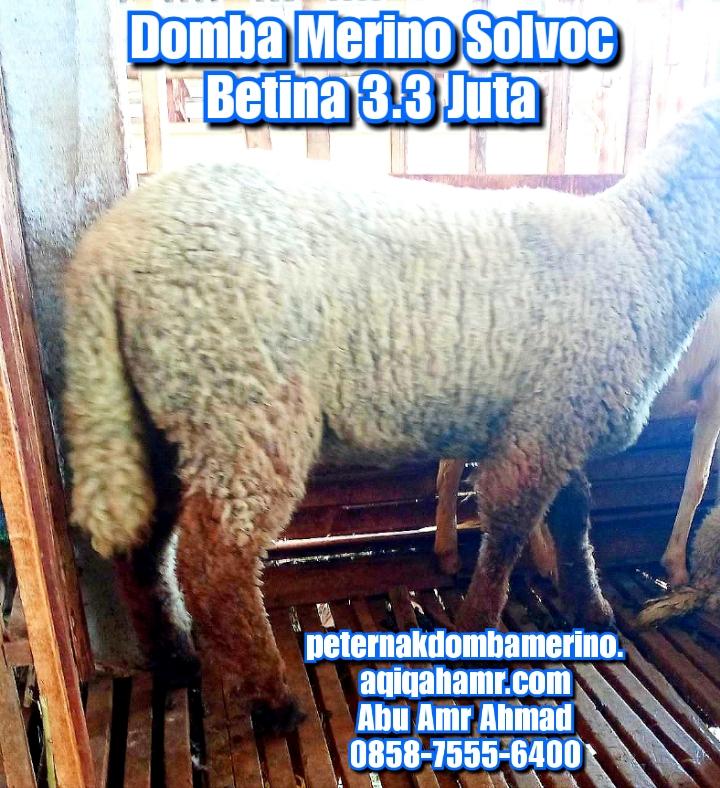 asal domba merino, budidaya domba merino, ciri domba merino, domba merino solvoc, domba merino solvoc betina semarang, domba merino indonesia, domba merino betina solvoc, domba merino betina solvoc semarang, domba merino betina super semarang, domba merino jatim, domba merino malang, domba merino semarang, domba merino super, domba merino wonosobo, domba merino wonosobo (dombos), foto domba merino, gambar domba merino, harga domba merino, harga domba merino 2021, harga domba merino semarang, harga domba merino wonosobo, jual domba merino, jual domba merino jawa timur, jual domba merino semarang, jual domba merino wonosobo, karakteristik domba merino, karakteristik domba merino wonosobo, keunggulan domba merino, perbedaan domba texel dan merino, tentang domba merino, ternak domba merino wonosobo