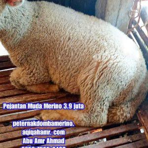 asal domba merino, budidaya domba merino, ciri domba merino, domba merino, domba merino pejantan semarang, domba merino indonesia, domba merino pejantan, domba merino pejantan semarang, domba merino pejantan semarang, domba merino jatim, domba merino malang, domba merino semarang, domba merino super, domba merino wonosobo, domba merino wonosobo (dombos), foto domba merino, gambar domba merino, harga domba merino, harga domba merino 2021, harga domba merino semarang, harga domba merino wonosobo, jual domba merino, jual domba merino jawa timur, jual domba merino semarang, jual domba merino wonosobo, karakteristik domba merino, karakteristik domba merino wonosobo, keunggulan domba merino, perbedaan domba texel dan merino, tentang domba merino, ternak domba merino wonosobo, pejantan muda merino semarang,