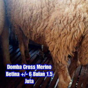 asal domba cross merino, budidaya domba cross merino, ciri domba cross merino, domba cross merino betina, domba cross merino betina semarang, domba cross merino betina super semarang, domba cross merino jatim, domba cross merino malang, domba cross merino semarang, domba cross merino super, domba merino, domba merino betina semarang, domba merino indonesia, domba merino wonosobo, domba merino wonosobo (dombos), foto domba merino, gambar domba merino, harga domba merino, harga domba merino 2021, harga domba merino semarang, harga domba merino wonosobo, jual domba merino, jual domba merino jawa timur, jual domba merino semarang, jual domba merino wonosobo, karakteristik domba merino, karakteristik domba merino wonosobo, keunggulan domba merino, perbedaan domba texel dan merino, tentang domba merino, ternak domba cross merino wonosobo